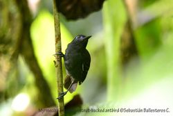 Chestnut-backed antbird - male