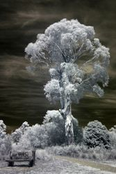 Eucalyptus Yarrensis