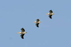 White Pelican  -  PELICAN BLANC