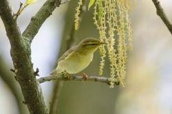 Willow Warbler (Pouillot fitis)