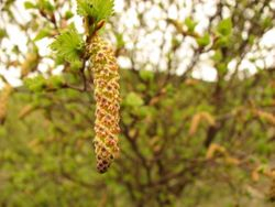 Birch catkin May