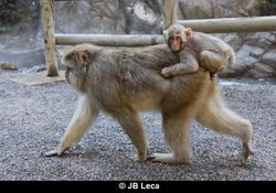 boarding mount by infant on mother - not sexual (Jigokudani)