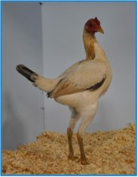Champion  Blue Tailed ( hen ).
