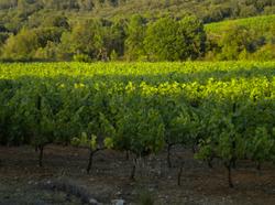 Vignes au soleil couchant
