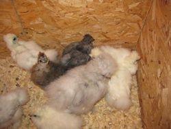 Partridge Splash and White chicks