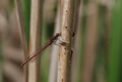 Large Red Damsel - PYRRHOSOMA NYMPULA