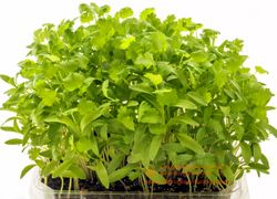 CILANTRO microgreens, true leaf stage