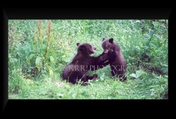Grizzly cubs wrestling