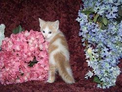 Mom Sassy's little cream bi-color shorthair Munchkin boy