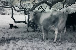 Mrs Cow