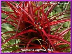 Tillandsia capitata 'Red' $7.50