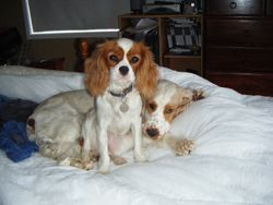 Ailey (cav) Mandy chilling on the bed!
