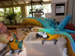 Blue & Gold Macaws January 2011