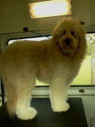 Goldendoodle before