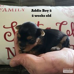 Addie's Pups Born 12/8/2019