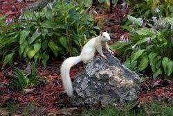 White ( Albino ) Squirrel