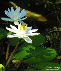 White Waterlily Duo