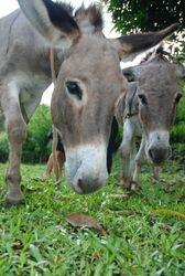 The Belmont donkeys