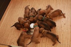 3 weeks-pups learn to eat-by mk