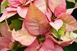Nochebuena (Poinsettia) #4