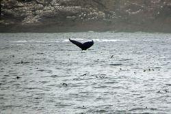 Whale at Bay Bulls