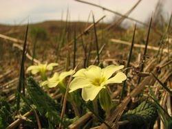 wild Primrose April