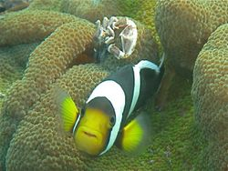 Clark's Anemone Fish with Crab