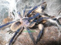 Monocentropus balfouri breeding 2012