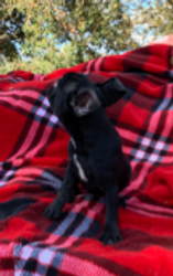 AKC Starlight: Black with white markings, female $3500.00