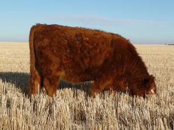 Whitby Farms Red Baldie