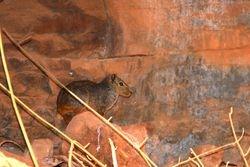 Moco ( Kerodon rupestris )