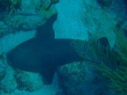 Nurse Shark at Sandy Cay