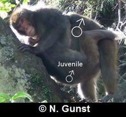 male-male homosexual mounting (ventro-ventral posture, Minoo)