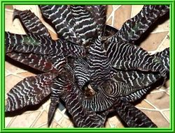 Cryptanthus 'Black Mystic' $15.00