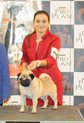 ire Multi Champ and Most winning Best In Show pug in Spain  Los Chatos Del Turia Who's Your Daddy