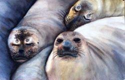 Sea Lion Faces
