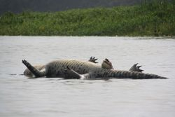 Dead Crocodile near Monkey Island