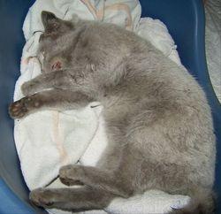 Grey puss