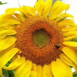 "Sunshine Bee #3 - 20"" x 20"""