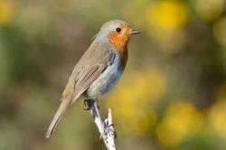 Rouge-gorge - Robin