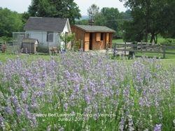 Lavender 2010