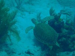 A turtle at Sandy Cay