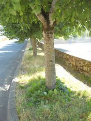 Street trees after