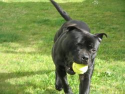 Loki loves the tennis ball