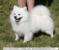 BRODIE #4 TOY AMERICAN ESKIMO IN CANADA 2012