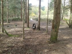 Walking Dogs in Crowthorne