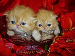THESE BOTH KITTENS ARE RESERVED