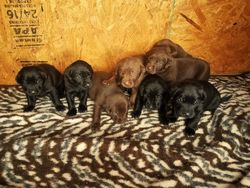 Amy's Litter Of Puppies