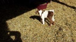 Blazing Saddle-Buck born 1/28/2014