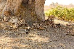 Cheetah takin a rest